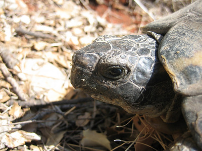 Testudo hermanni?, Griekse landschildpad in Dutch? (near Delphi)