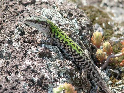 Podarcis sicula, ruïnehagedis, photograph by Marijn van den Brink (Vesuvius area)