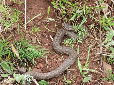 Probably Vipera eriwanensis, viper in English, adder in Dutch - photograph by Marijn van den Brink (between Kars and Erzurum)