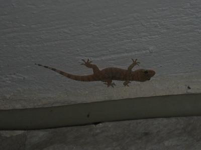 Cyrtopodion kotschyi?, Kotschy's Gecko (Areopoli)