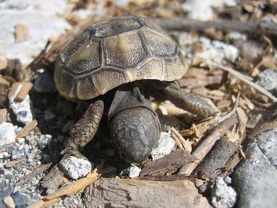 Testudo hermanni?, Griekse landschildpad - juvenile (Mistras)
