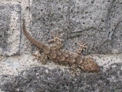 Tarentola mauritanica, muurgekko in Dutch