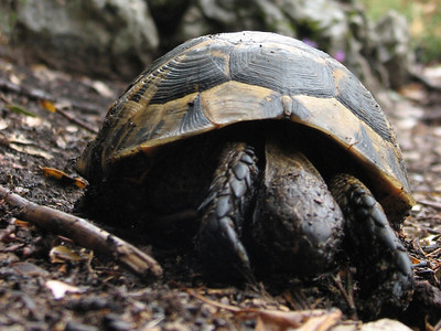 Testudo graeca, Moorse landschildpad in Dutch (Termessos, Southwestern Turkey)