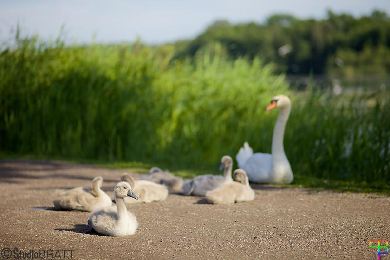 Swan with Kids - Råstasjön Svan med ungar - Råstasjön