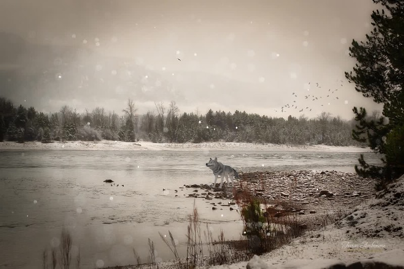 Winter River with Wolf