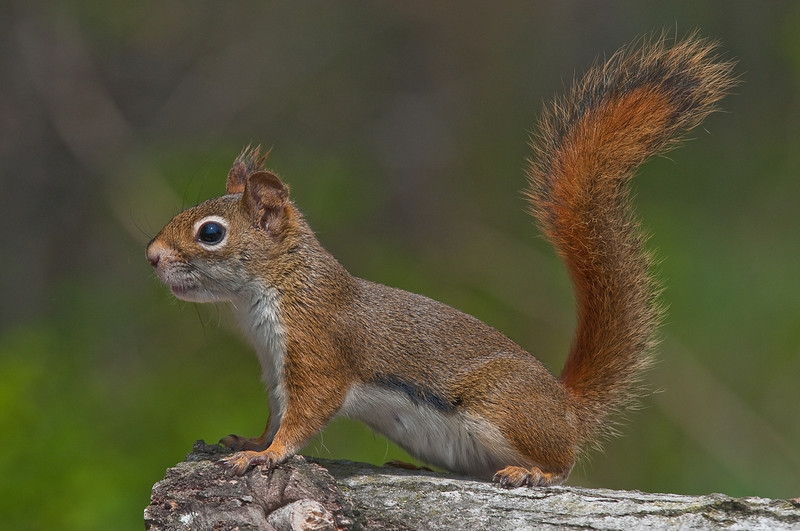 Ecureuil roux , American Red Squirrel, Tamiasciurus hudsonicus , Sciuridae, Rodentia<br /> 166, St-Hugues, Quebec, 2009