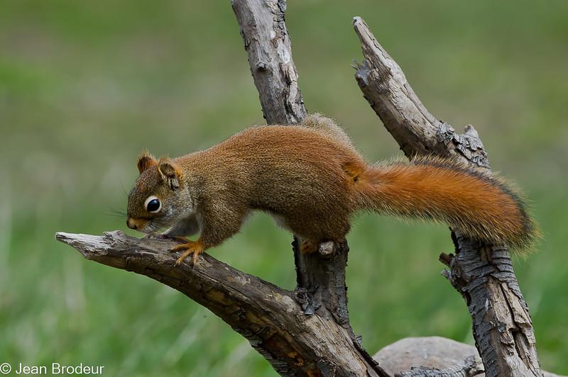 Ecureuil roux , American Red Squirrel, Tamiasciurus hudsonicus <br /> 2752, St-Hugues, Quebec, 2010