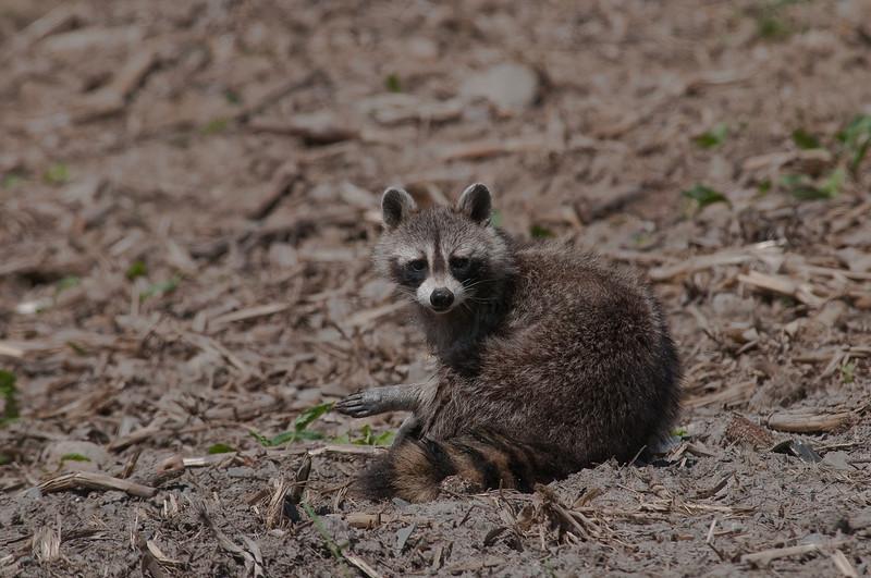 Raton laveur, Raccoon, Procyon lotor <br /> 66, St-Hugues, Quebec, 2009