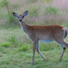 Cerf de Virginie (Chevreuil) , Whitail deer , Odocoileus virginianus <br /> 8286, Les Escoumins, Quebec, 11 aout 2013