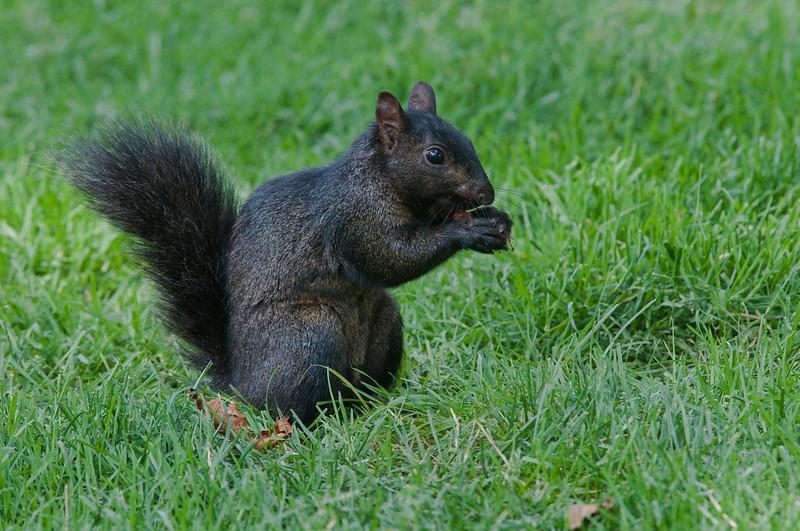 Ecureuil noir ( meme espece que le gris ), Gray Squirrel, Sciurus carolinensis<br /> 3593,Jardin Botanique de Montreal, Québec, 2009
