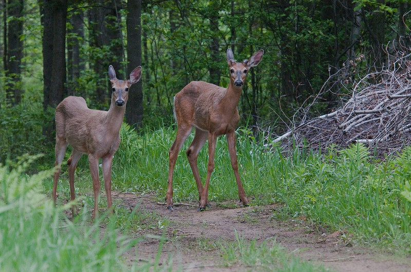 Cerf de Virginie (Chevreuil)  au debut du printemps,  Whitail deer , Odocoileus virginianus , Capreolinae, Artiodactyla<br /> 38, St-Hugues, Quebec, 28 mai 2009