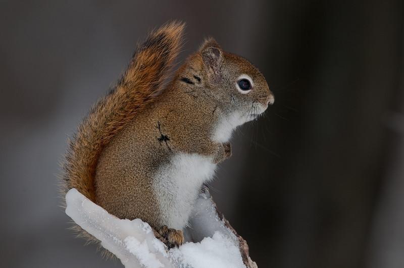 Ecureuil roux , American Red Squirrel, Tamiasciurus hudsonicus <br /> 0403, St-Hugues, Quebec, 2009