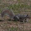 Ecureuil gris de l'est, Gray Squirrel, Sciurus carolinensis, Sciuridae, Rodentia<br /> 19, St-Hugues,Quebec, 2009