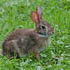 Lièvre d'Amérique, Snowshoe Hare, Lepus  americanua, Leporidae, Lagomorpha<br /> 3121, Jardin Seguin ,St-Hyacinthe, Quebec, 2009