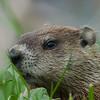 Marmotte commune (siffleux), Woodchuck, Marmota monax<br /> 9042, Baie-du-Febvre, Quebec, 20 avril 2011