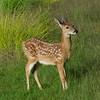 Cerf de Virginie (Chevreuil) , Whitail deer , Odocoileus virginianus , Capreolinae, Artiodactyla<br /> 8538, Les Escoumins, Quebec, 11 aout 2013