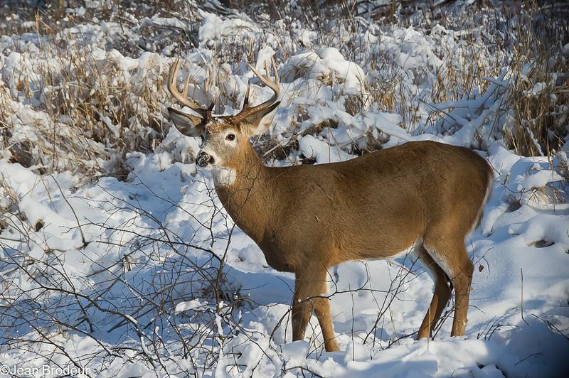 Cerf de Virginie (Chevreuil)  male 8 pointes,  Whitail deer , Odocoileus virginianus , Capreolinae, Artiodactyla<br /> 8319, Parc Michel-Chartrand, Longueuil, Quebec, 26 decembre 2011