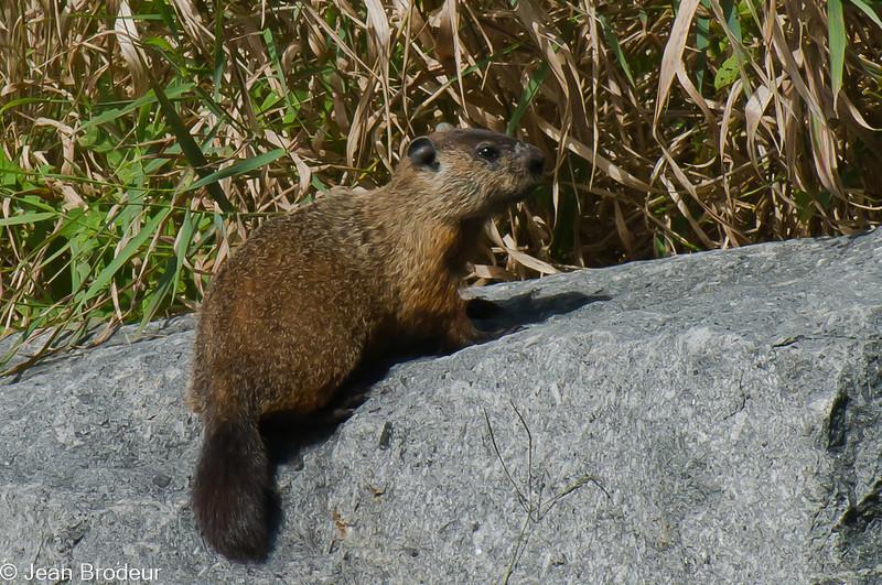 Marmotte commune (siffleux), Woodchuck, Marmota monax, Marmotini, Xerinae, Sciuridae<br /> 7599, Parc de la Riviere-aux-Pins, Boucherville,  Quebec, 2010