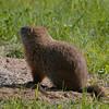 Marmotte commune (siffleux), Woodchuck, Marmota monax<br /> 7671,St-Hugues, Quebec, 2009