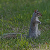Ecureuil gris de l'est, Gray Squirrel, Sciurus carolinensis<br /> 69, St-Hugues,Quebec, 2009