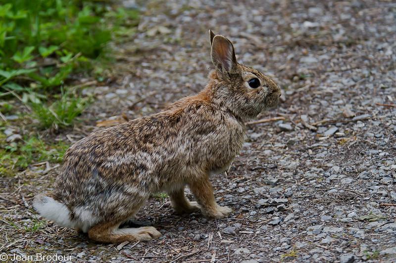 Lièvre d'Amérique, Snowshoe Hare, Lepus  americanua, Leporidae, Lagomorpha<br /> 4548b Boisé des 12,St-Hyacinthe, Quebec, 2010