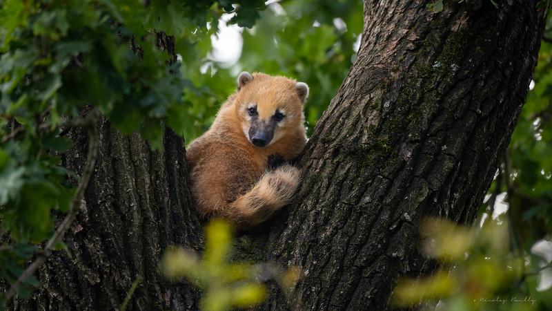Coati Roux - Ring-Tailed Coati