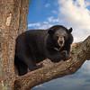 Ours Noir d'Asie - Usus thibetanus