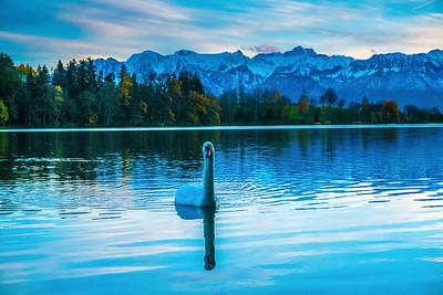 Un cygne s'approche sur le lac de Bret