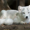 Renard Polaire - Artic Fox