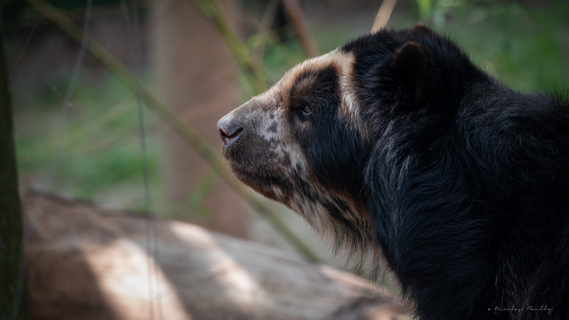 Ours à Lunettes - Spectacled Bear