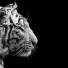 Série B&W - Tigre Blanc Royal