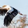 Cigogne Blanche - White Stork