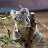Koala - Phascolarctus cinereus