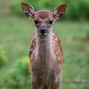 Cerf Sika (Faon) - Sika Deer (Fawn)