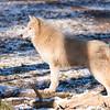 Loup Arctique - Artic Wolf