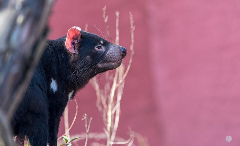 Diable de Tasmanie - Sarcophilus harrisii