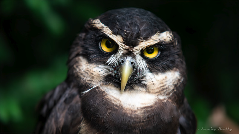 Chouette à Lunette - Spectacled Owl