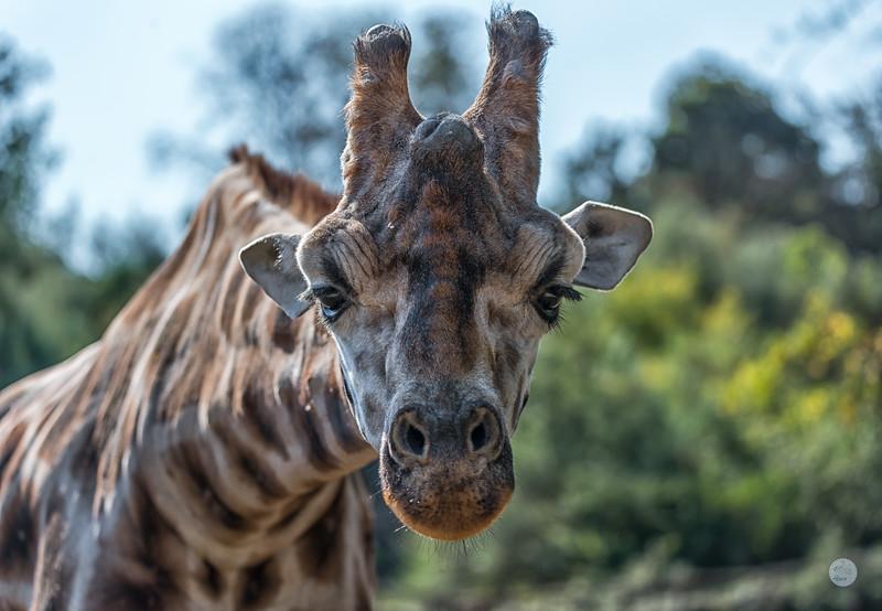 Girafe du Nord