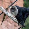 Macaque à Queue de Lion - Lion-tailed macaque