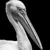 Série B&W - Pelican Blanc - Pelecanus onocrotalus