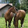 Sweet horses near Lauterbrunnen, Switzerland
