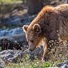 Ours Brun Européen - Brown Bear
