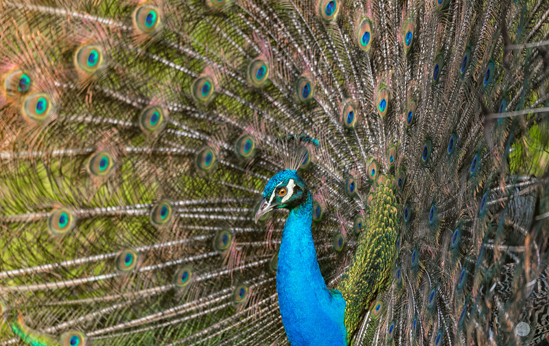 Paon Bleu -  Pavo cristatus
