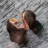 Hippopotame Commun - Common Hippopotamus