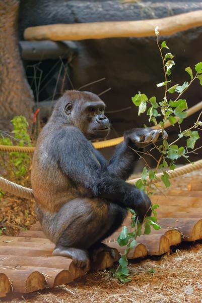 Gorille des Plaines de l'Ouest - Gorilla Gorilla Gorilla
