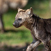 Jeune Hyène Tachetée - Spotted Hyena Cub