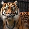 Tigre de Sumatra - Sumatran Tiger