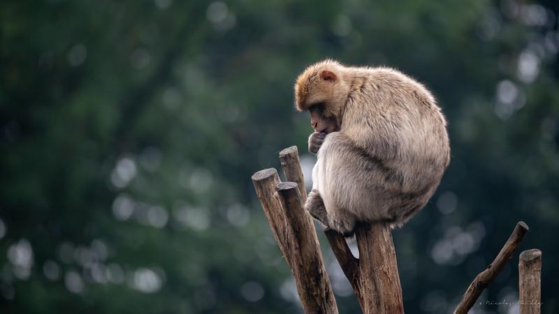 Macaque de Barbarie - Barbarian Macaque