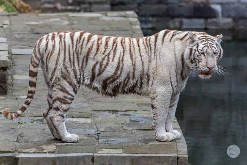 Tigre Blanc Royal - Panthera tigris