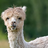 Jeune Alpaga - Young Alpaca